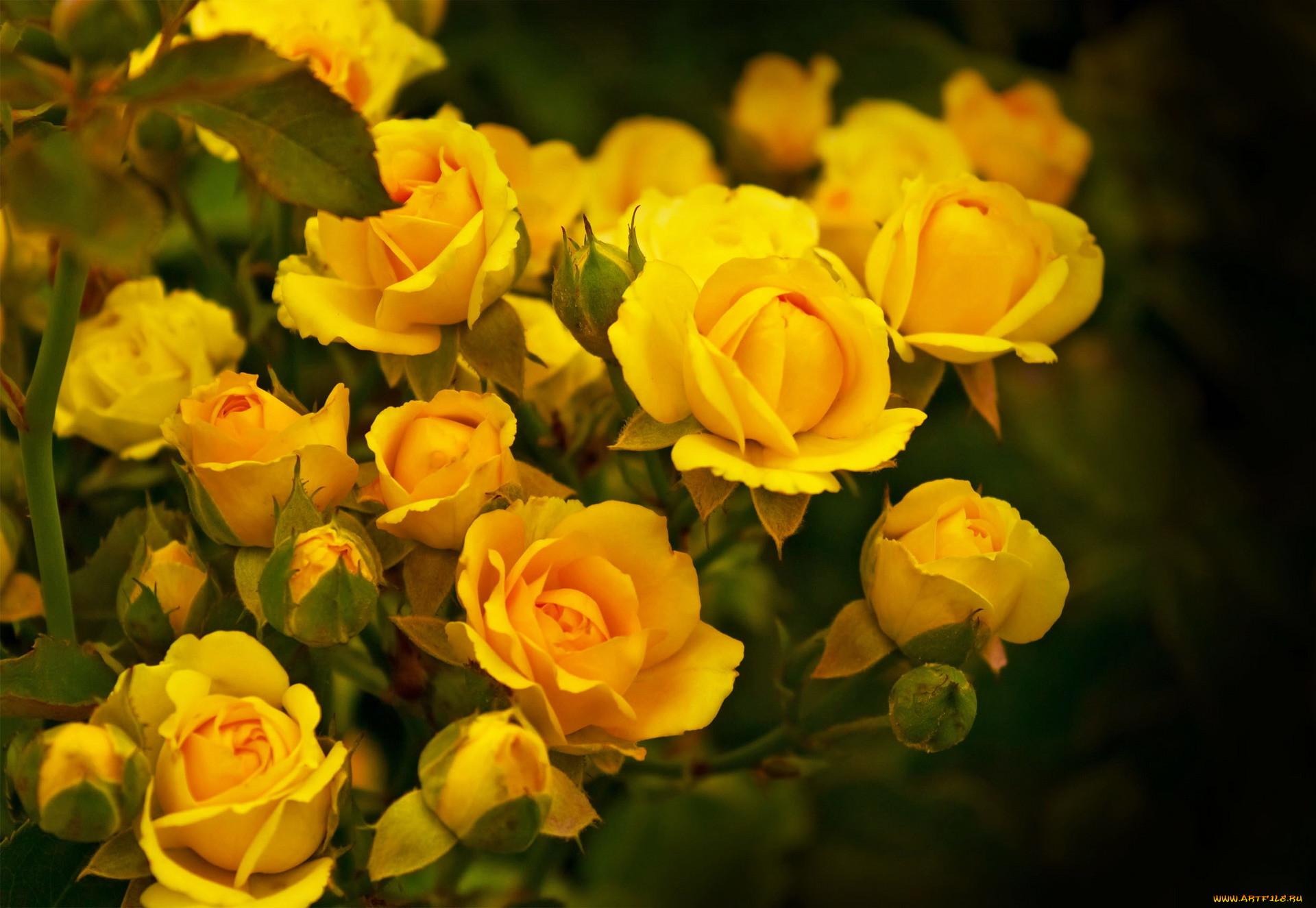 этого желтые розы фото на рабочий стол требование